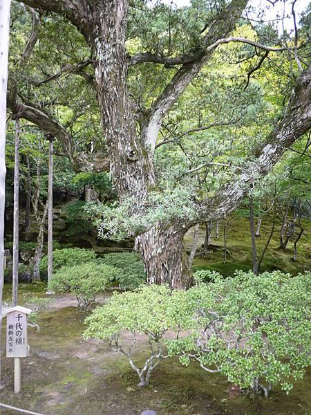 五百年樹木