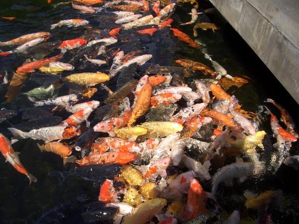 多到有點噁心的鯉魚