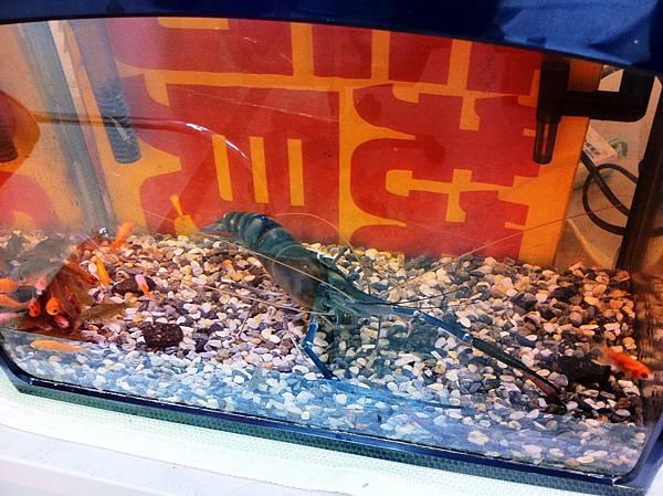 寵物蝦-蝦太郎