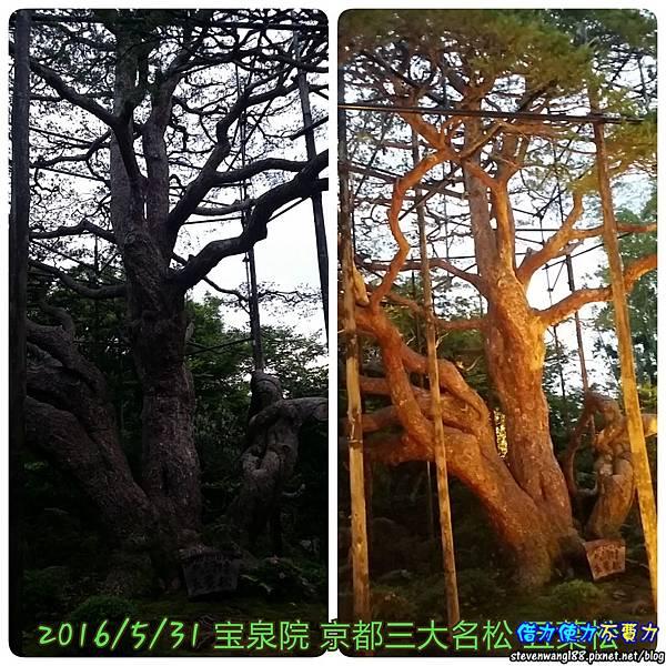 20160531-08-2寶泉院五葉松.jpg