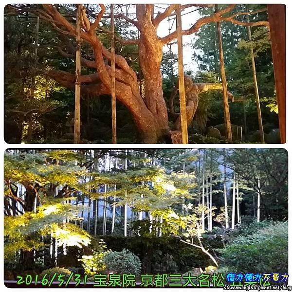 20160531-08-3寶泉院五葉松.jpg