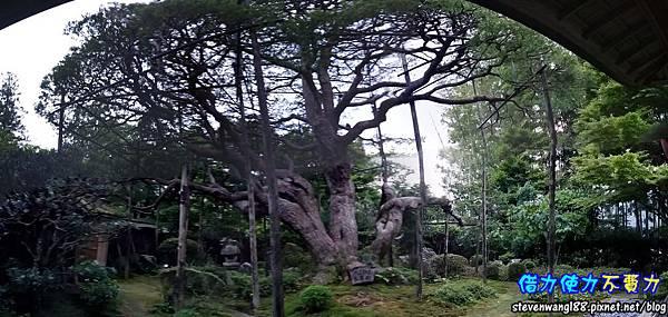 寶泉院 京都三大松之一 五葉松