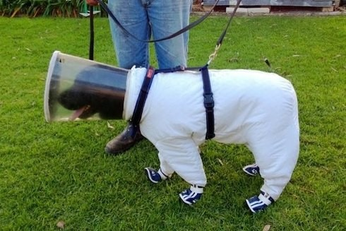 動物趣味影片,黃金拉布拉多犬穿上防蜂衣嗅探腐蟲不怕被蜂螫擔任養蜂小幫手 (金毛尋回犬,價格,圖片,壽命,黑色,掉毛,訓練)