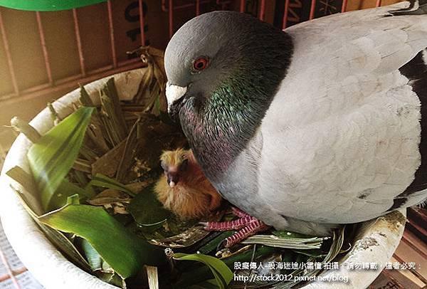 鴿子活寶橡皮筋的鴿子小寶寶