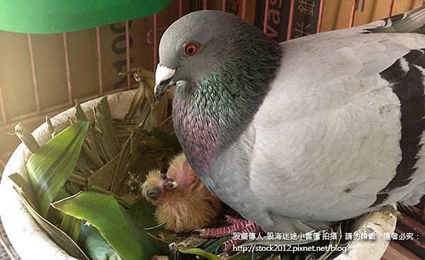 鴿子活寶橡皮筋的鴿子小寶寶餵食