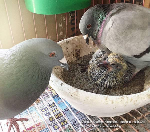 鴿子活寶與小鴿子一家