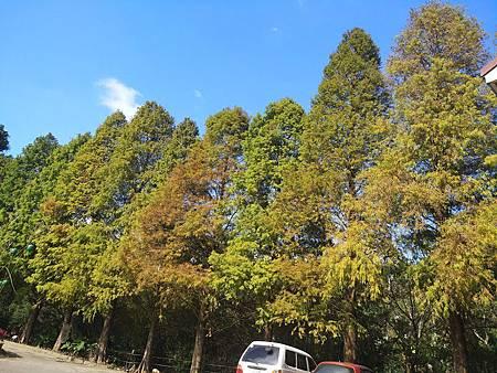 九芎湖落羽松9.jpg