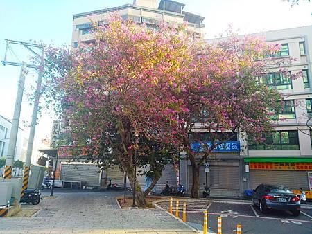 艷紫荊2.jpg