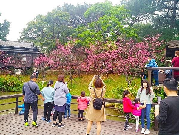 新竹公園八重櫻.jpg