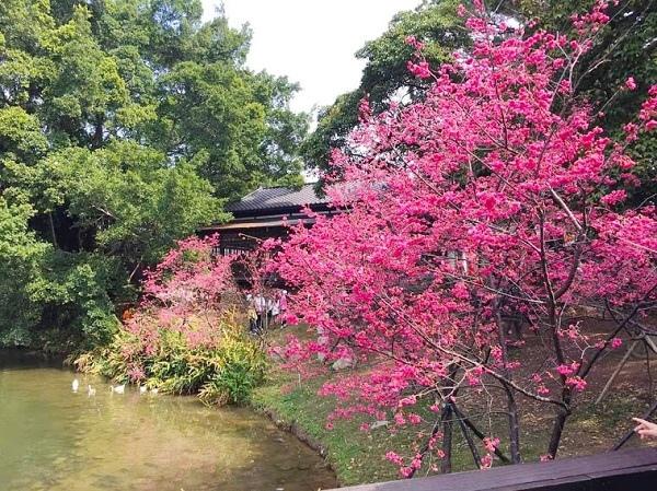 新竹公園櫻花 2.jpg