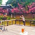 新竹公園櫻花 5.jpg