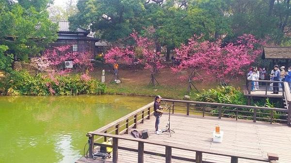 新竹公園櫻花 4.jpg