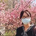 新竹公園櫻花 3.jpg