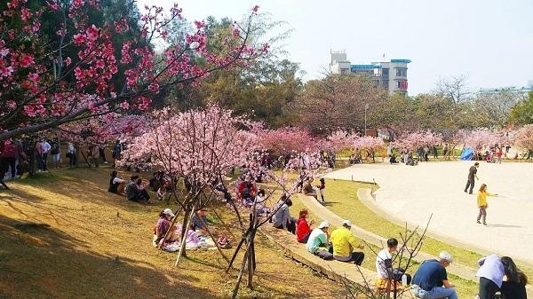新竹公園櫻花 13.jpg