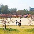 新竹公園櫻花 10.jpg