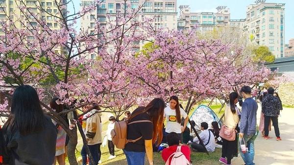 新竹公園櫻花 11.jpg