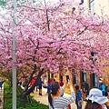 新竹公園櫻花 6.jpg