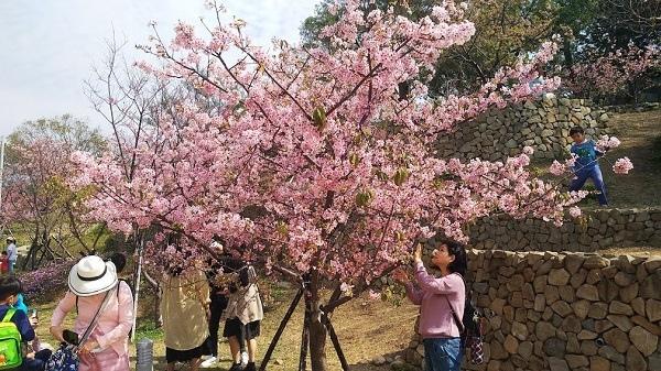 新竹公園櫻花 7.jpg