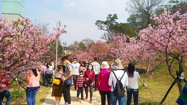 新竹公園櫻花 9.jpg