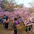 新竹公園櫻花 15.jpg