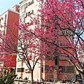 東南街櫻花 9.jpg
