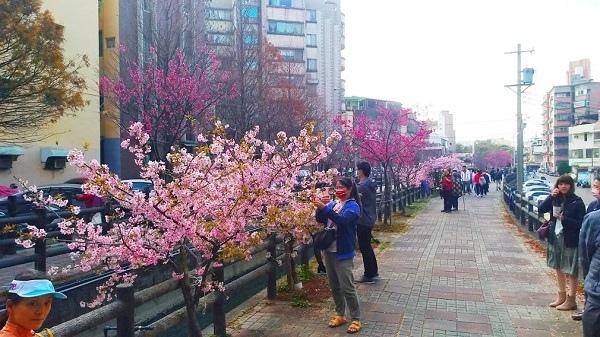 東南街櫻花 8.jpg