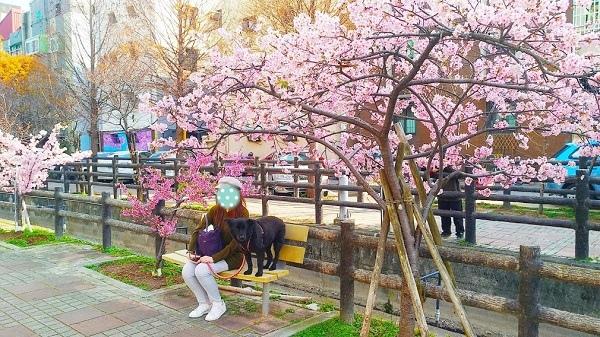 東南街櫻花 5.jpg