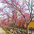 東南街櫻花 2.jpg