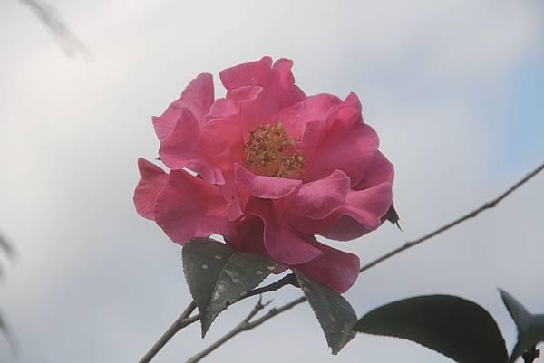 茶花-雙溪茶花莊