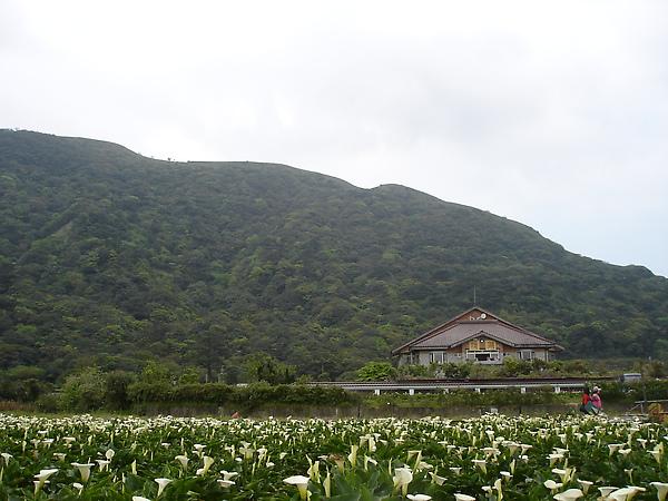 2010陽明山海芋