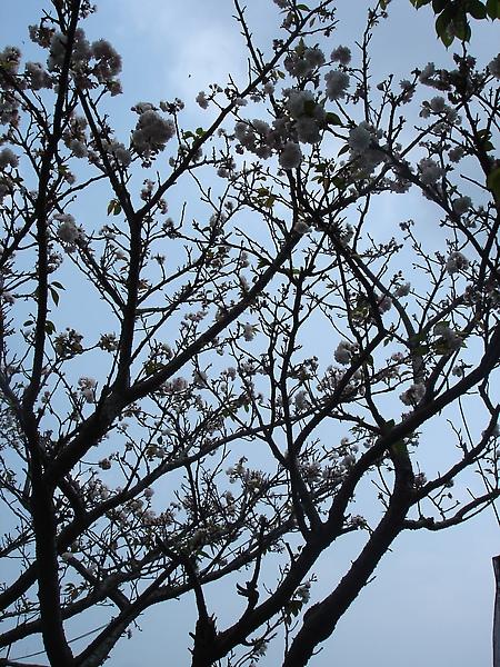 陽明山唯一的櫻花