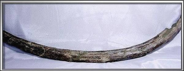 1. 石頭ㄚm  大象化石
