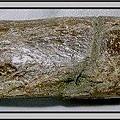 18.石頭ㄚm 大象化石