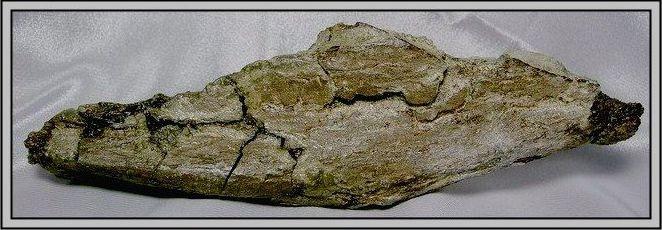 19.石頭ㄚm 大象化石