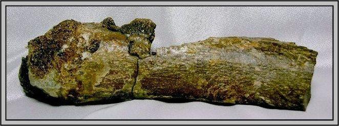 21.石頭ㄚm 大象化石
