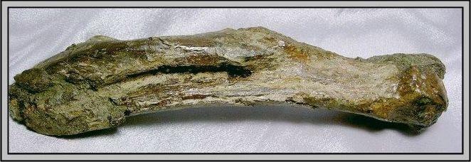 36.石頭ㄚm 大象化石