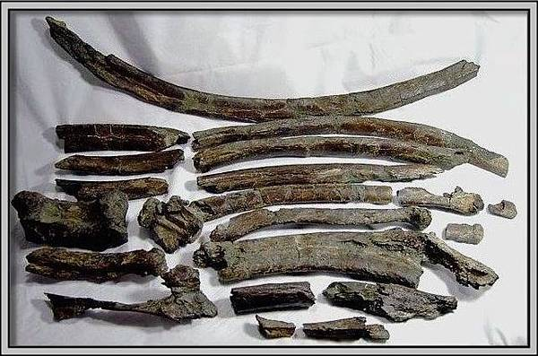 38.【石頭ㄚm 大象化石】