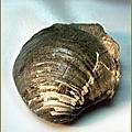 大溪 環文蛤化石B.