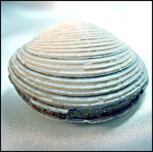 四溝 環文蛤化石B.