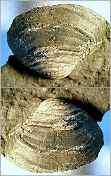 苗栗 環文蛤化石