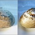 大溪 環文蛤化石A.