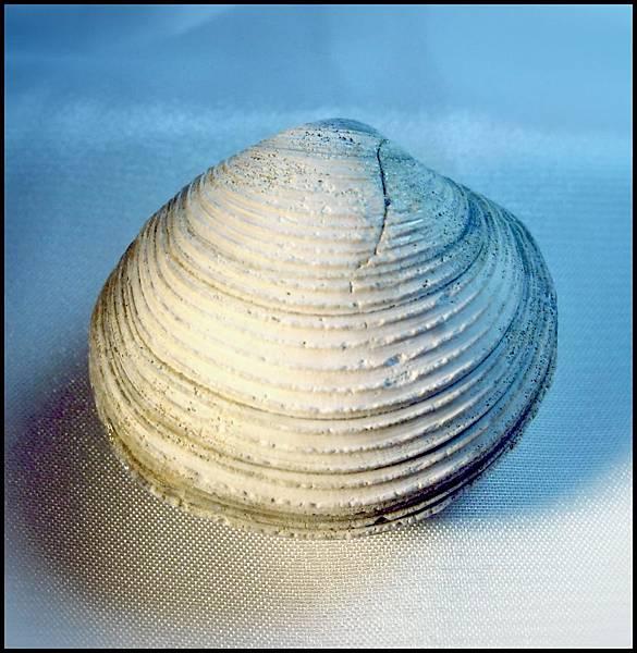 四溝 環文蛤化石A.