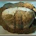 風情萬種~螃蟹化石NO.1