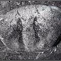 風情萬種~螃蟹化石NO.3