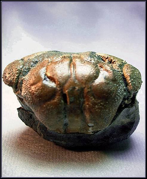 風情萬種 ~ 螃蟹化石NO.14