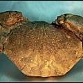 風情萬種 ~ 螃蟹化石NO.15