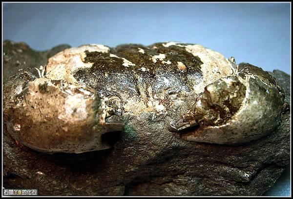 風情萬種 ~ 螃蟹化石NO.16