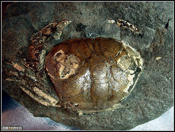 風情萬種 ~ 螃蟹化石NO.17