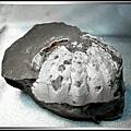 【化石:卷折饅頭蟹 No.20】