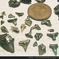s10809_鯊魚牙化石.jpg